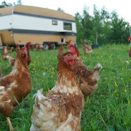 Høner i byen – med Annikken Rustad Jøssund